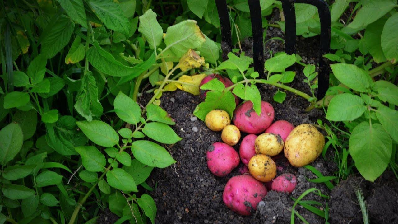 What Potatoes To Grow?